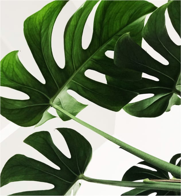 Monstera-Pflanze